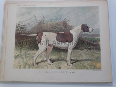 Antique Pointer Lithograph 1890 Breeding Bitch Wagg
