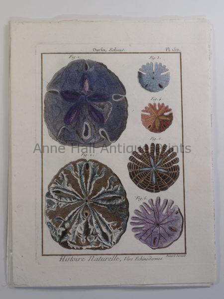 Antique (18th century) Sand Dollars Engraving Seashells Lamarck plate 150