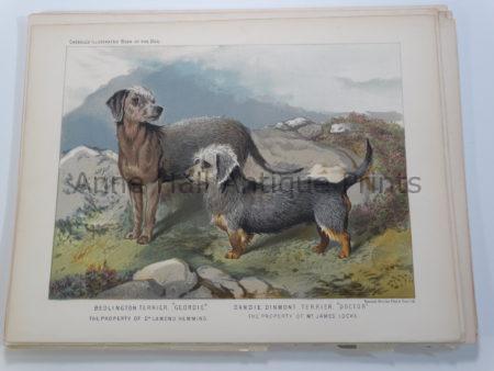Bedlington Dandie Dinmont Terriers Antique Dog Lithograph