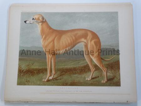 Cassell Original Lithograph Greyhound Lauderdale Bloodline