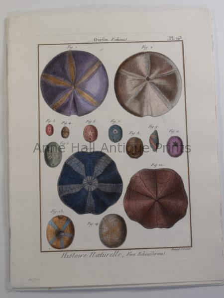 """Seashells engraving sourced from 17th century encyclopedia """"Histoire Naturelle""""."""