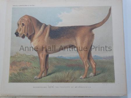 Fabulous Bloodhound Antique Print Bloodline Stud Don