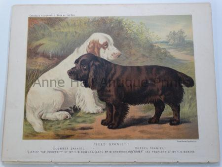 Field Spaniels Antique Lithograph Clumber-Sussex $125.