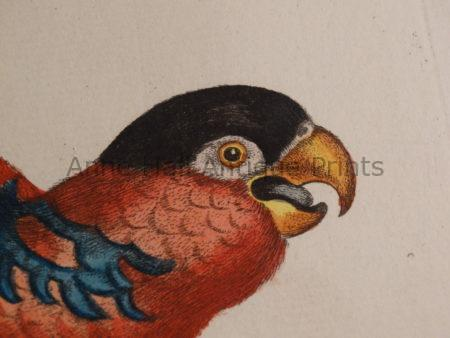 Decorative antique parrot hand colored engravings sourced from Sammlung Verschiedener Auslaendischer und Seltener Voegel. Offered framed and as loose plates.
