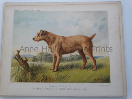 Irish Terrier Antique Lithograph Champion Sporter $125.
