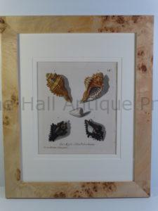George Wolfgang Knorr Sea Shells Engraving framed, blond burlwood frame.