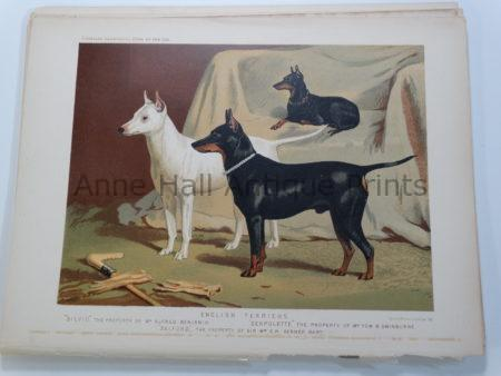 Manchester Terriers Antique Lithograph of Dogs