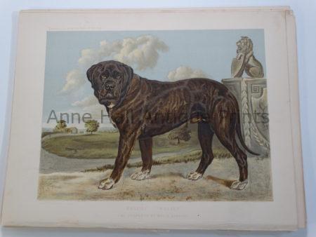 Mastiff Bloodline Antique Lithograph Stud Wolsey