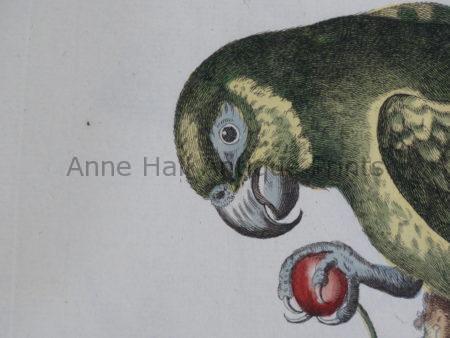 old antique parrot prints