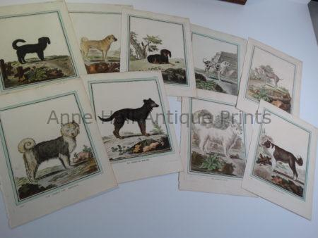 Rare collections of Compte de Buffon Cat-Dog Engravings