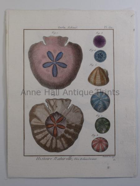 Sand Dollars French Engraving over 100 years old, Lamarck seashells, from Histoire Naturelle, plate 152.