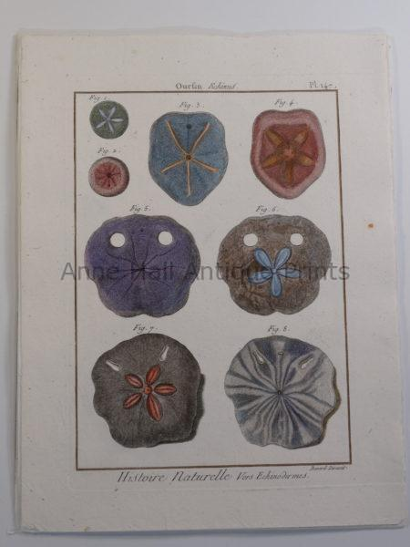 """18th century engraving of sand dollars seashells plate 147 from """"Histoire Naturelle""""."""