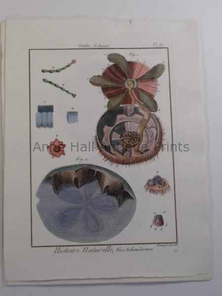 "Lamarck seashells engraving of sand dollars anatomy from ""Histoire Naturelle,"" 18th century bookplate."