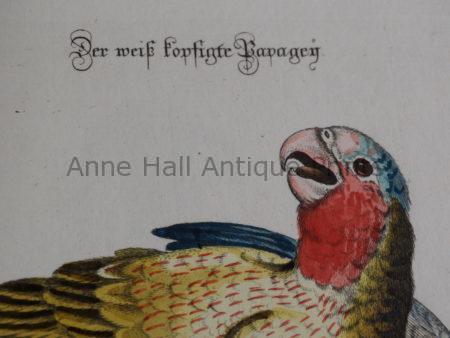 Rare 18th century antique prints of parrots from Sammlung Verschiedener Auslaendischer und Seltener Voegel