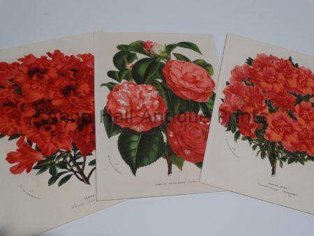 azaleas-rhododendrons antique lithographs