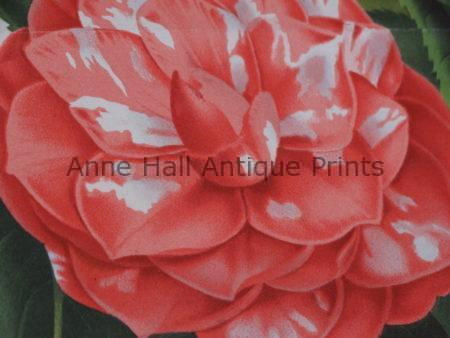 Find camellia antiques that are over 100 years old.