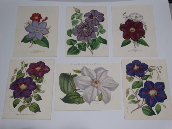 A collection of 19th century antique lithographs of purple colored clematis flowers.