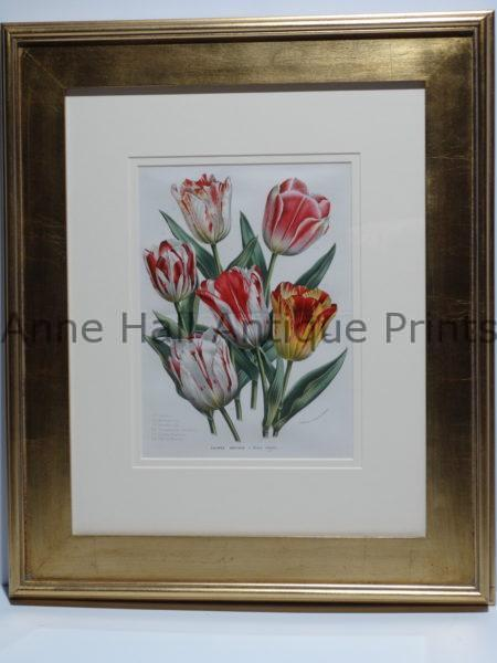 Multi colored boquet of tulips Belgian antique lithograph.