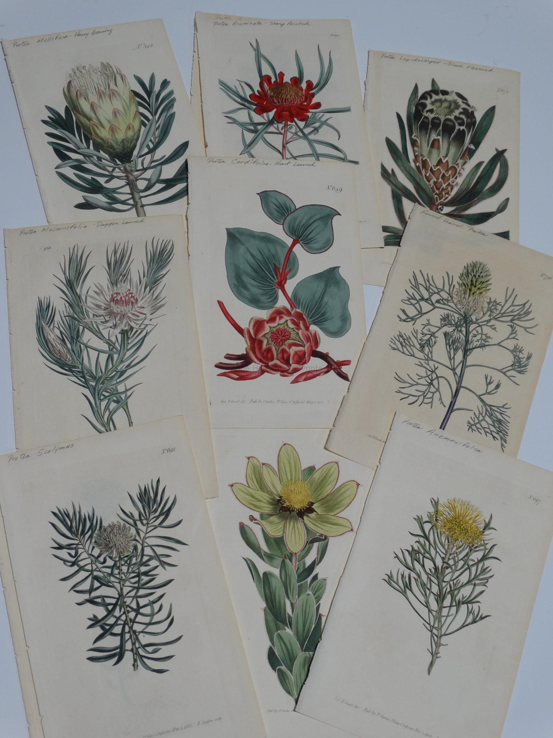 Find old artwork of artichoke protea from centuries ago.