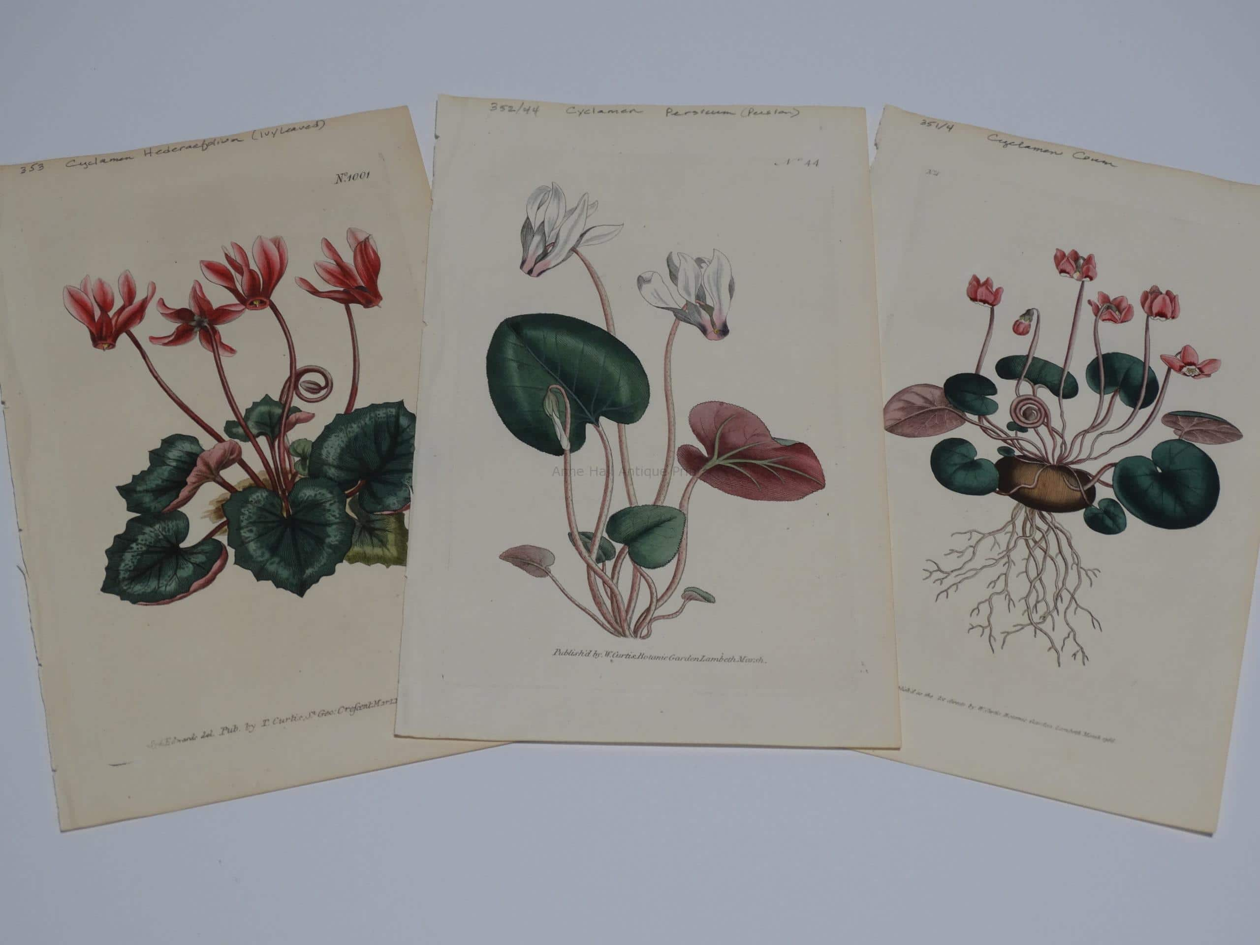 other special flowers: Cyclamen. Set of three 220 year old engravings of cyclamen by Curtis & Edwards.