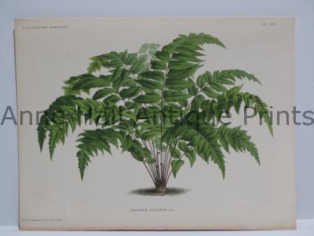 Palm Trees Asplenium Falcatum 1869-1896 L'Illustration Horticole original plate.