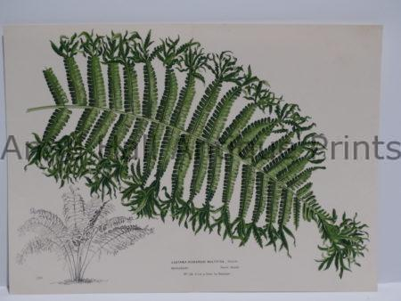 """Palms Frond Lastraea Lithograph.  Belgian hand finished color lithograph.  Published during 1845-1888.  Measuring  9 1/2 x 13"""" $85."""