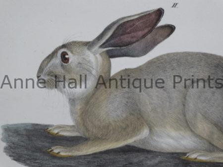We want to appeal to people who love antique prints of rabbits and antique bunny rabbit art with this spectacular close up of one of our finest rare prints.