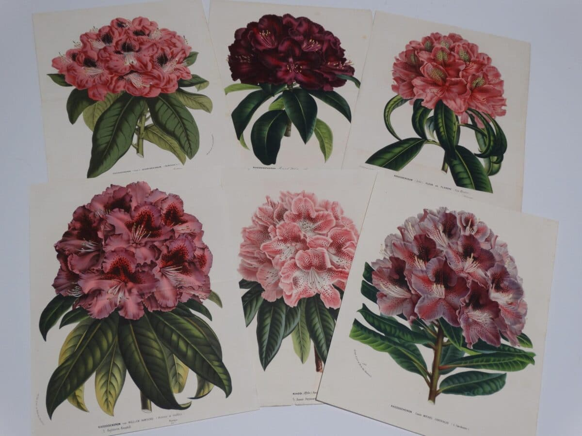 decorative set antique rhododendron lithographs