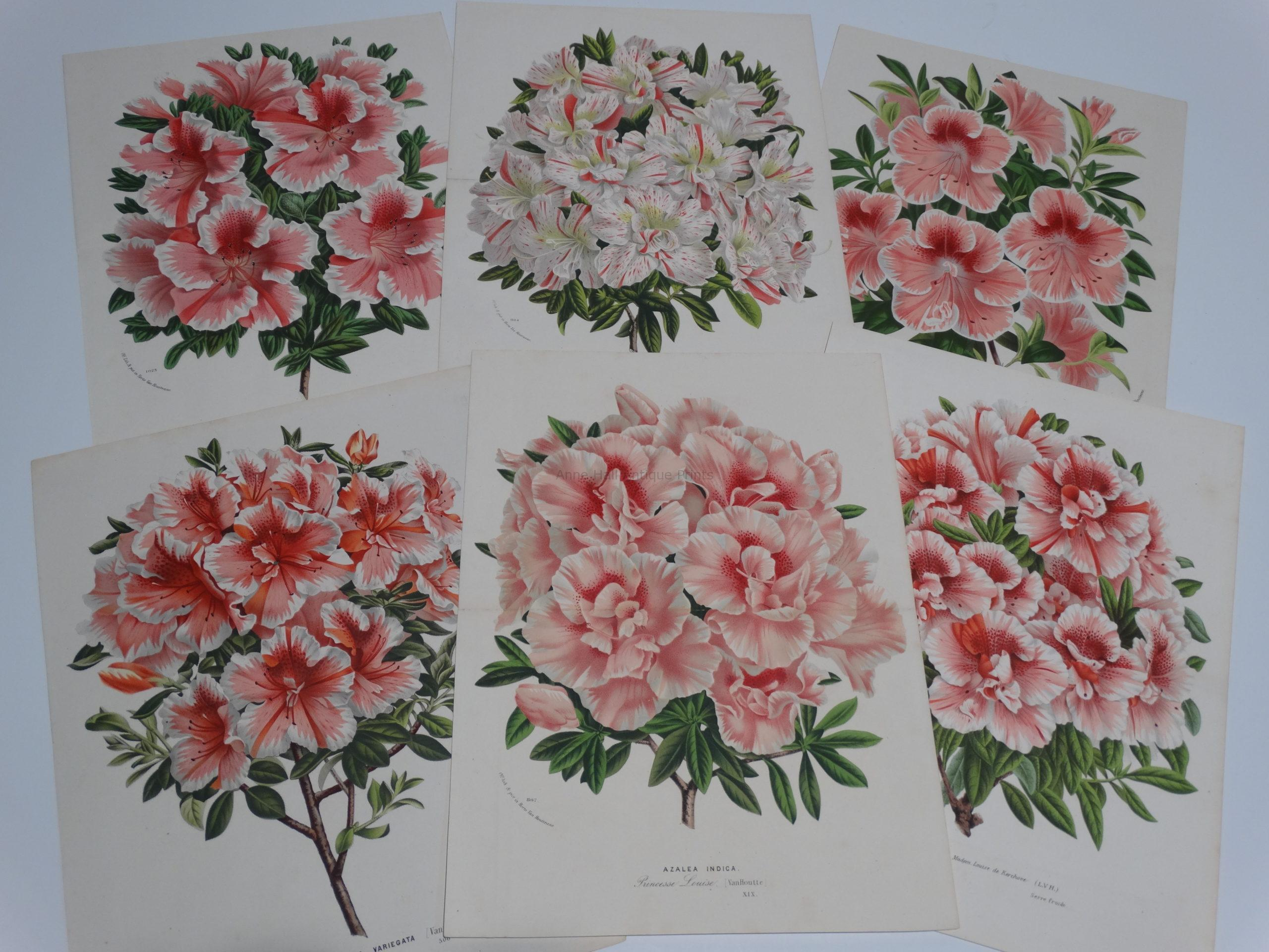 Exquisite collection of 19th century antique lithographs engravings of azaleas rhododendrons.