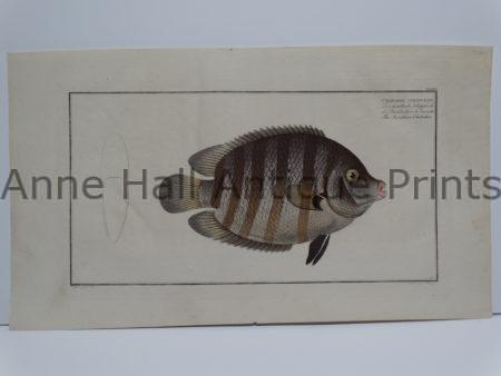 Bloch fish engraving Chaetodon suratensis