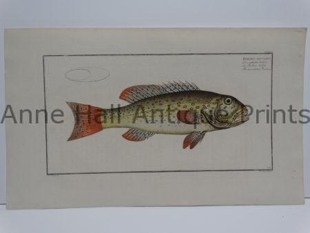 Bodianus maculatus Fine Antique Prints