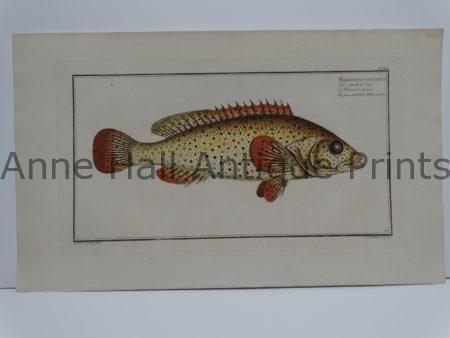 Holocentrus Punctatus Fish Engraving