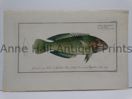 Labrus chloropterus Antique Fish Engraving