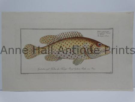 Perca maculate rare perch engraving