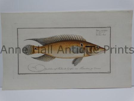 Perca saxatilis Bloch fish engraving