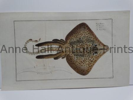 Raja Rubus rare stingray engraving