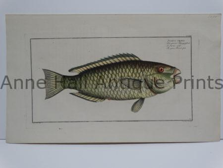 Scarus viridis Parrot Fish