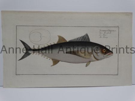 Scomber Thynnus Bloch Tuna Engraving