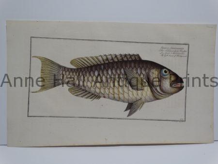 Sparus Abildaardi Gilt Fish