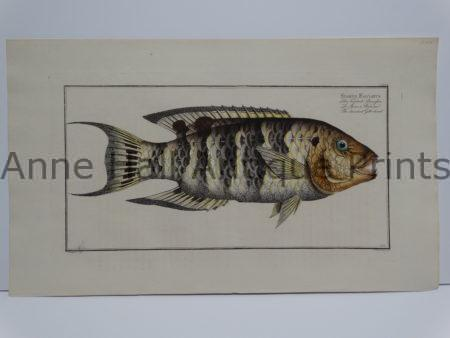 Sparus Fasciatus Bloch fish engraving