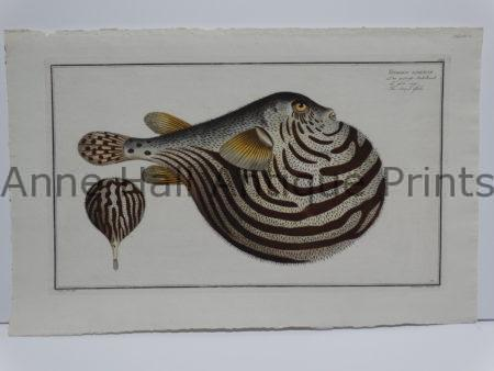 Tetrodon lineatus Eliezer Bloch fish engraving