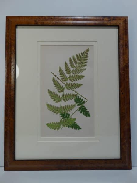 E.J. Lowe ferns