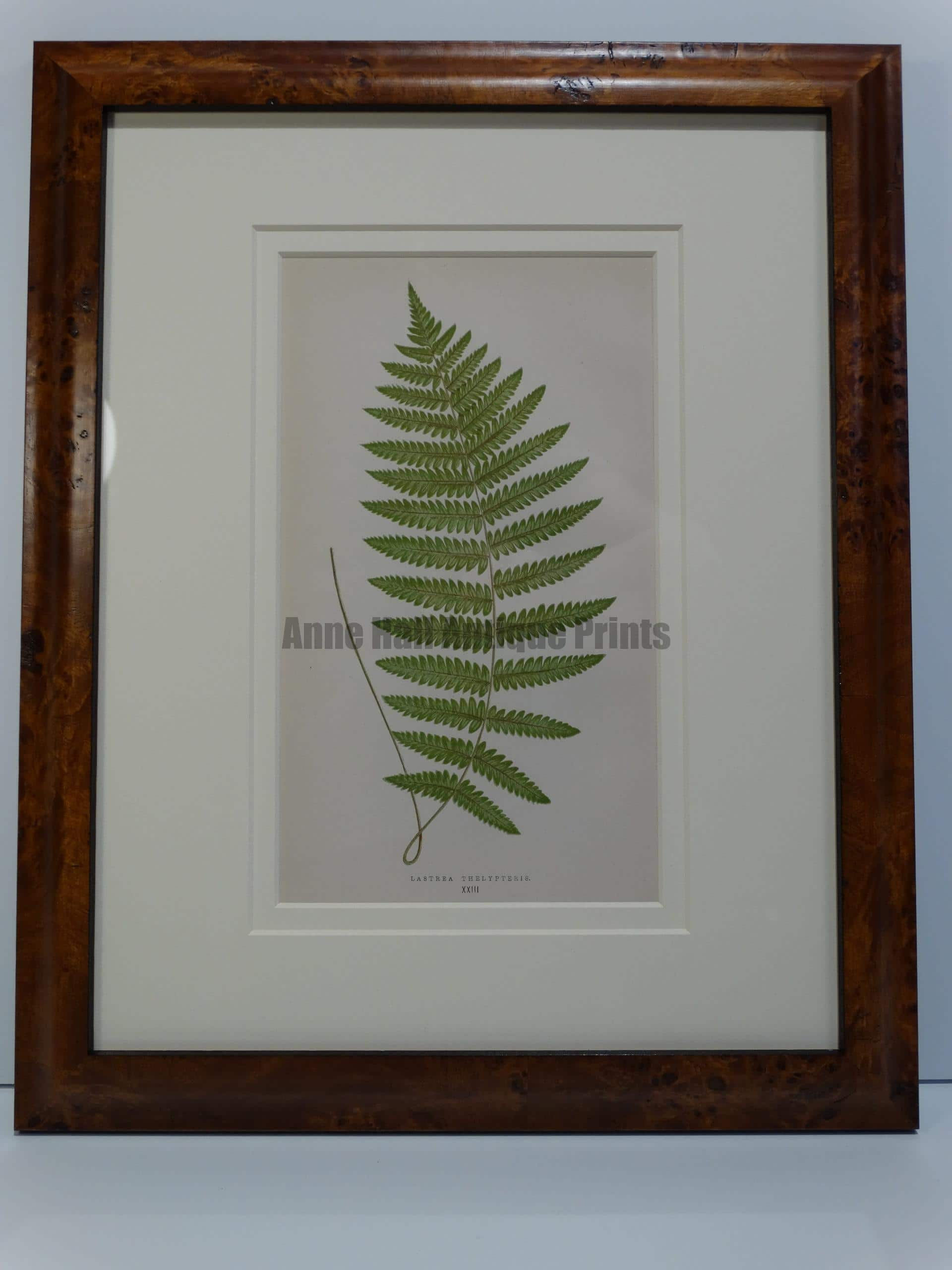 stunning antique lithograph of fern