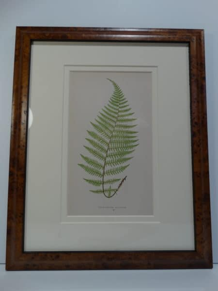 Ferns more than 100 years of age