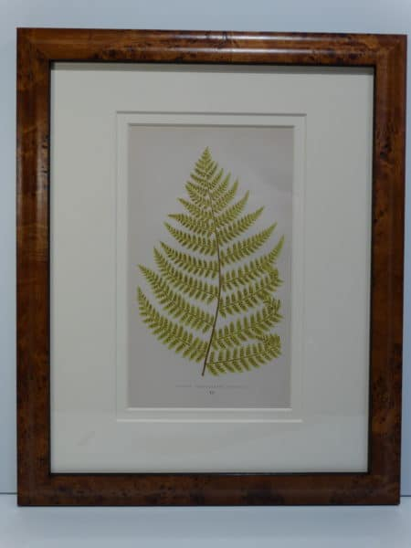 fern lithograph from the 19th century