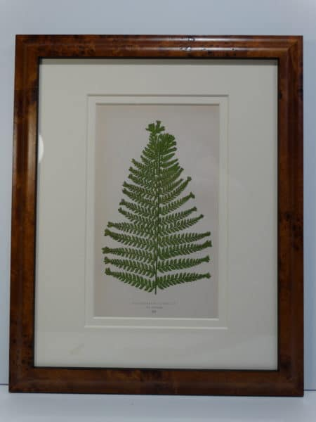 beautiful antique fern print from the 1800's