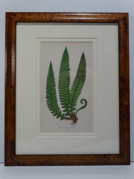 19th century antique fern prints