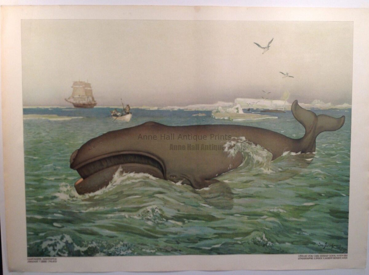 120 year old whale lithograph