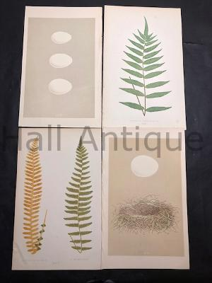 bringing nature home with antique lithographs