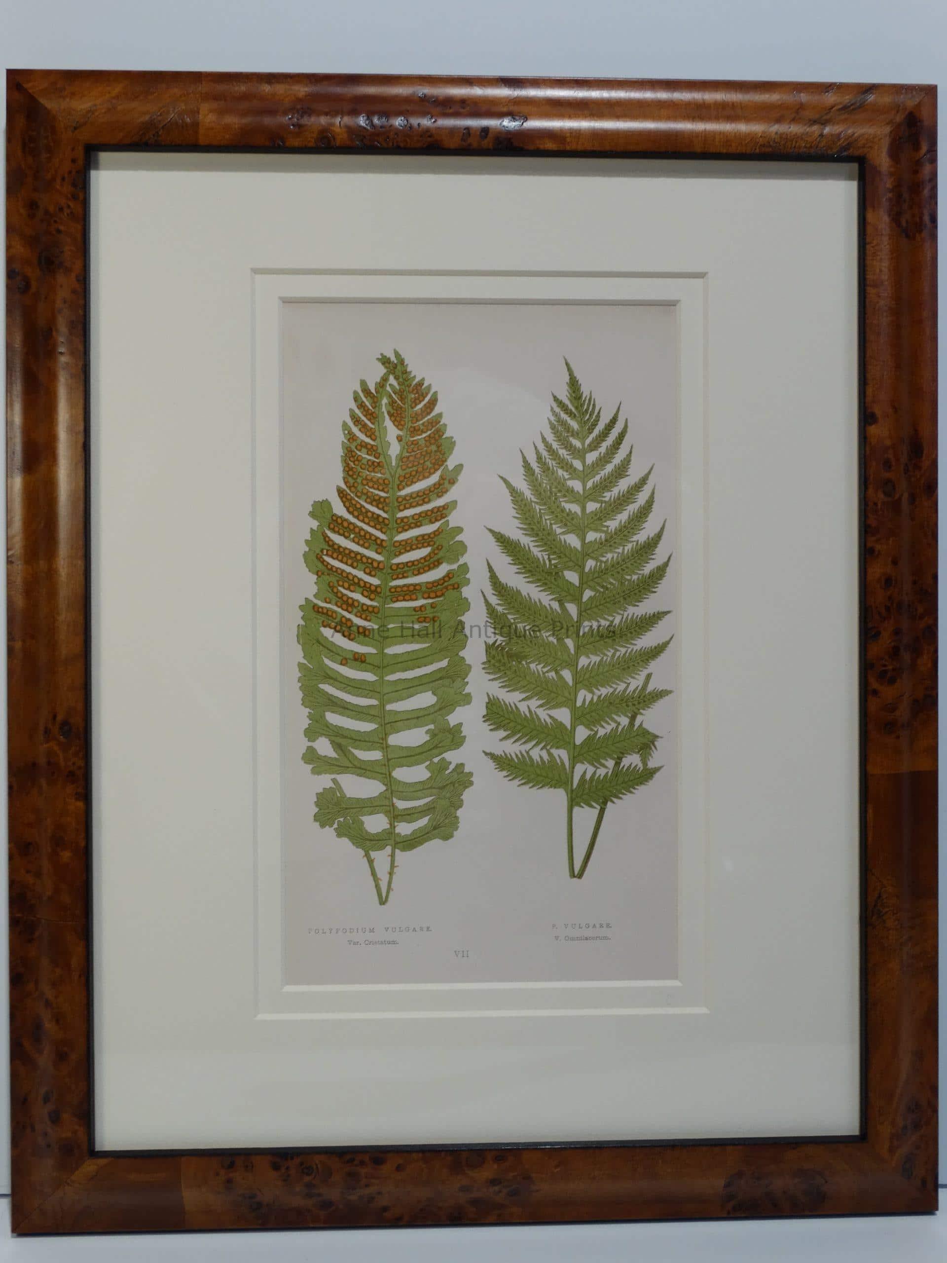 Framed Ferns Antique Lithograph 12